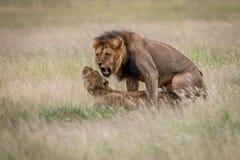 Ζευγάρωμα ζευγών λιονταριών στην υψηλή χλόη Στοκ εικόνες με δικαίωμα ελεύθερης χρήσης