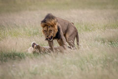 Ζευγάρωμα ζευγών λιονταριών στην υψηλή χλόη Στοκ Εικόνα