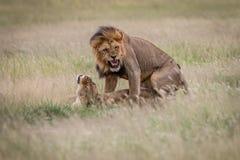 Ζευγάρωμα ζευγών λιονταριών στην υψηλή χλόη Στοκ φωτογραφία με δικαίωμα ελεύθερης χρήσης