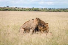 Ζευγάρωμα ζευγών λιονταριών στην υψηλή χλόη Στοκ Φωτογραφία