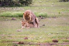 Ζευγάρωμα ζευγών λιονταριών στη χλόη Στοκ εικόνα με δικαίωμα ελεύθερης χρήσης