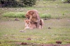 Ζευγάρωμα ζευγών λιονταριών στη χλόη Στοκ Φωτογραφίες