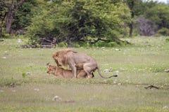 Ζευγάρωμα ζευγών λιονταριών στη χλόη Στοκ φωτογραφίες με δικαίωμα ελεύθερης χρήσης