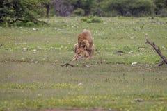 Ζευγάρωμα ζευγών λιονταριών στη χλόη Στοκ φωτογραφία με δικαίωμα ελεύθερης χρήσης
