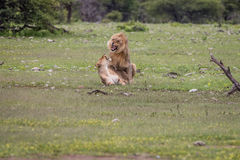 Ζευγάρωμα ζευγών λιονταριών στη χλόη Στοκ Εικόνες