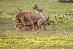 Ζευγάρωμα ζευγών λιονταριών στη χλόη Στοκ Εικόνα