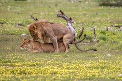 Ζευγάρωμα ζευγών λιονταριών στη χλόη Στοκ εικόνες με δικαίωμα ελεύθερης χρήσης