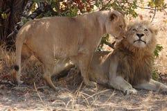 Ζευγάρωμα λιονταριών Στοκ Φωτογραφίες