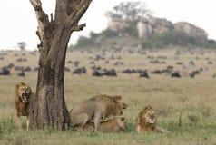 Ζευγάρωμα λιονταριών Στοκ Φωτογραφία