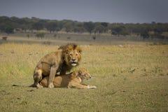 Ζευγάρωμα λιονταριών Στοκ φωτογραφία με δικαίωμα ελεύθερης χρήσης