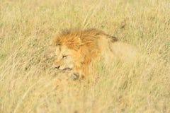 Ζευγάρωμα λιονταριών Στοκ Εικόνες