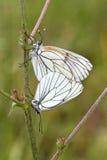 Ζευγάρωμα της μαύρος-φλεβώούς άσπρης πεταλούδας, crataegi Aporia Στοκ Φωτογραφίες