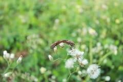 Ζευγάρωμα apterus Pyrrhocoris Στοκ Φωτογραφίες