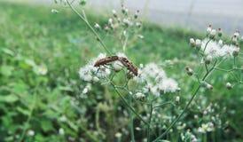 Ζευγάρωμα apterus Pyrrhocoris Στοκ φωτογραφία με δικαίωμα ελεύθερης χρήσης