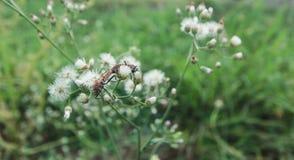 Ζευγάρωμα apterus Pyrrhocoris Στοκ Φωτογραφία