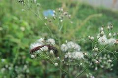 Ζευγάρωμα apterus Pyrrhocoris Στοκ Εικόνα