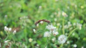 Ζευγάρωμα apterus Pyrrhocoris Στοκ φωτογραφίες με δικαίωμα ελεύθερης χρήσης