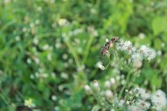 Ζευγάρωμα apterus Pyrrhocoris Στοκ Εικόνες
