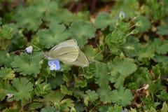 Ζευγάρωμα Buttrflies Στοκ εικόνες με δικαίωμα ελεύθερης χρήσης