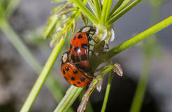 Ζευγάρωμα Ladybug λαμπριτσών στοκ εικόνες
