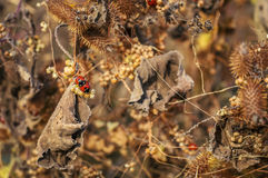 Ζευγάρωμα Ladybugs, ο ξηρός Μπους αγκαθιών στο υπόβαθρο Στοκ φωτογραφία με δικαίωμα ελεύθερης χρήσης