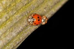 Ζευγάρωμα ladybugs Στοκ φωτογραφία με δικαίωμα ελεύθερης χρήσης