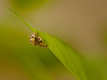 Ζευγάρωμα ladybugs Στοκ εικόνα με δικαίωμα ελεύθερης χρήσης