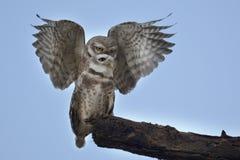 Ζευγάρωμα owlet ζουγκλών Στοκ φωτογραφία με δικαίωμα ελεύθερης χρήσης