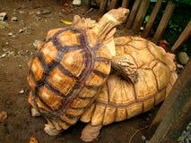 ζευγάρωμα tortoises Στοκ Εικόνες