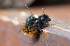 Ζευγαρώνοντας απόμερες μέλισσες Στοκ Φωτογραφίες