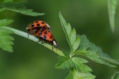Ζευγαρώνοντας γυναικεία ζωύφια (Coccinellidae) Στοκ εικόνες με δικαίωμα ελεύθερης χρήσης