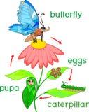 Ζευγαρώνοντας ζεύγος των λιβελλουλών που χρωματίζει pageLife τον κύκλο της πεταλούδας Ακολουθία σταδίων ανάπτυξης από το αυγό στο ελεύθερη απεικόνιση δικαιώματος