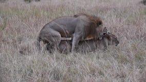 Ζευγαρώνοντας λιοντάρια απόθεμα βίντεο