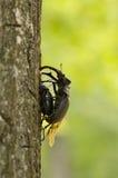 Ζευγαρώνοντας κάνθαροι αρσενικών ελαφιών, cervus Lucanus στο δρύινο δέντρο Στοκ Εικόνα