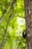 Ζευγαρώνοντας κάνθαροι αρσενικών ελαφιών, cervus Lucanus στο δρύινο δέντρο Στοκ φωτογραφία με δικαίωμα ελεύθερης χρήσης
