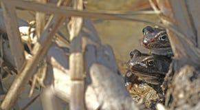 Ζευγαρώνοντας κοινοί βάτραχοι Στοκ φωτογραφία με δικαίωμα ελεύθερης χρήσης