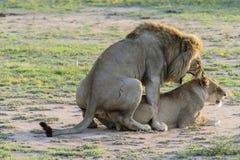 Ζευγαρώνοντας λιοντάρια Στοκ Φωτογραφίες