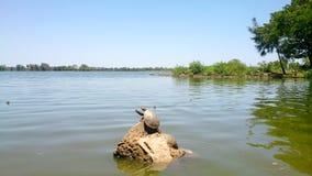 Ζευγαρώνοντας οικογένεια χελωνών στην πέτρα στοκ εικόνες με δικαίωμα ελεύθερης χρήσης