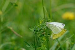 Ζευγαρώνοντας πεταλούδες Στοκ Φωτογραφίες