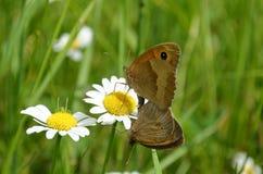 Ζευγαρώνοντας πεταλούδες Στοκ φωτογραφίες με δικαίωμα ελεύθερης χρήσης
