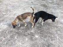 Ζευγαρώνοντας σκυλιά Στοκ Εικόνες