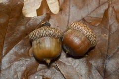 2 ζεύγος βελανιδιών με τα δρύινα φύλλα Στοκ Εικόνες