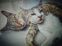Ζεύγος γατών στοκ εικόνα