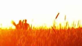 Ζεύγος ερωτευμένο στο ηλιοβασίλεμα στο σίτο απόθεμα βίντεο