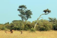 Ζεύγος λιονταριών στη χλόη Στοκ Εικόνα