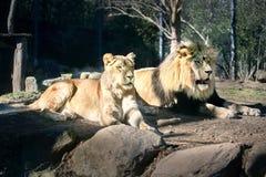 Ζεύγος λιονταριών στον ήλιο - ηλιόλουστη ημέρα - που κάνει ηλιοθεραπεία Στοκ φωτογραφίες με δικαίωμα ελεύθερης χρήσης