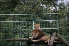 Ζεύγος λιονταριών Στοκ Εικόνα