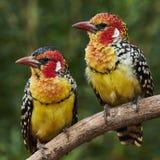 Ζεύγος κόκκινο και κίτρινο barbet Στοκ Εικόνες