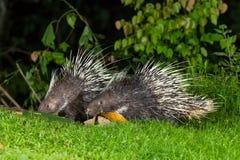 Ζεύγος νυκτερινό Malayan porcupine ζώων Στοκ Εικόνες