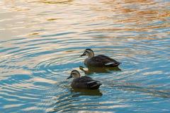 Ζεύγος παπιών που κολυμπά στον ποταμό Στοκ φωτογραφίες με δικαίωμα ελεύθερης χρήσης